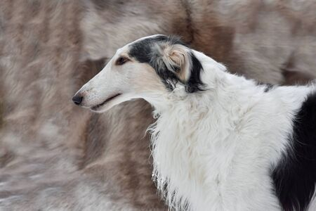 Portrait of beautiful black and white Russian wolfhound dog on a gray background Stock Photo