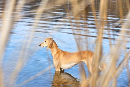 Beautiful borzoi dog Saluki or Kazakh greyhounds Tazy standing in water on a river bank background
