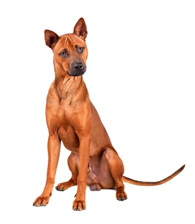 Sitting young red Thai Ridgeback dog isolated on a white Stock Photo