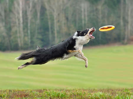 Dog in flight catches a flying disc on green background