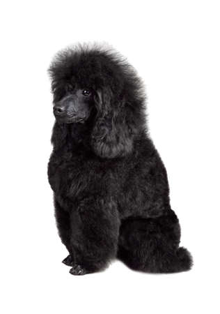 Funny puppy of toy black poodle sitting on a white background Banque d'images