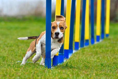 Beagle is going through slalom sticks in agility Stock Photo