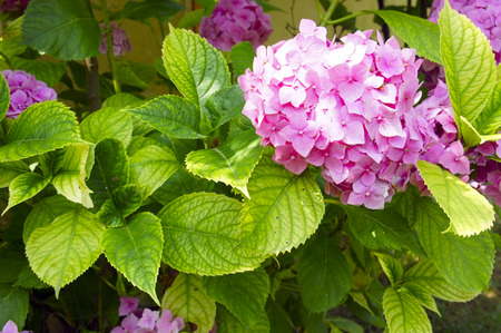 A large pink Hortensia close up photo