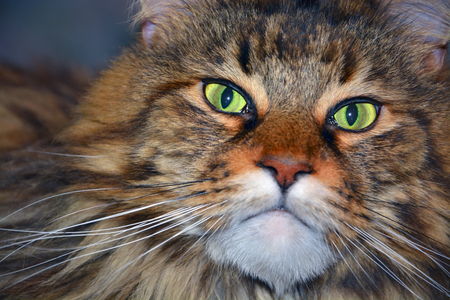 maine coon: The Maine Coon cat face close up