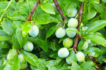 ciruela: Los racimos de ciruelas verdes close-up Foto de archivo
