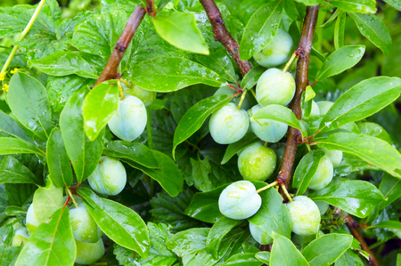 The bunches of green plums close-up