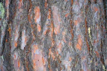 Die Pine Baumrinde Nahaufnahme
