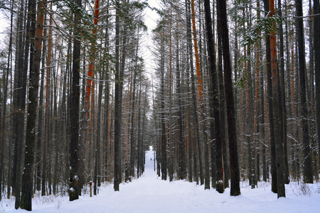 frostbitten: hiking trail in the winter pine forest