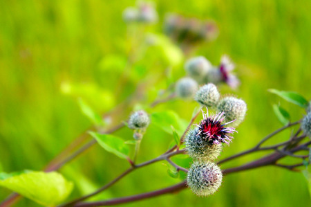 velcro: flowers, fruits of burdock, agrimony in summer Stock Photo