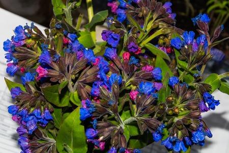 pulmonaria: purple flowers lungwort closeup spring