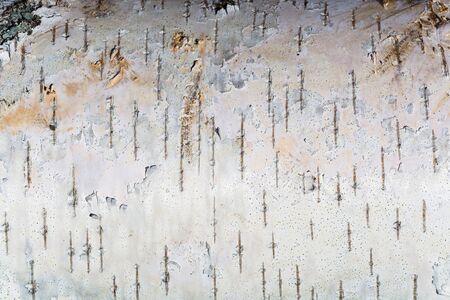 dissemination: white texture of birch bark