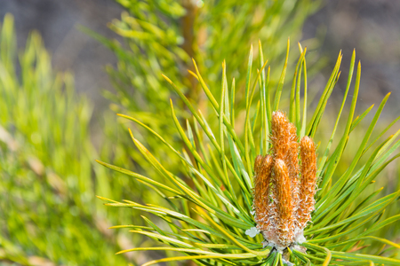pineal: inflorescence closeup of pine spring