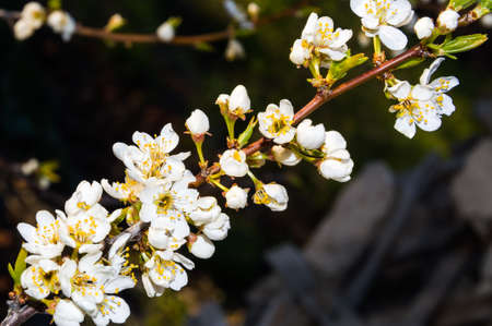 japanese apricot: White cherry blossoms closeup spring