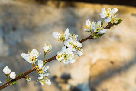 asian gardening: White cherry blossoms closeup spring