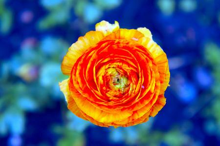 Top view of an orange peony bud 版權商用圖片