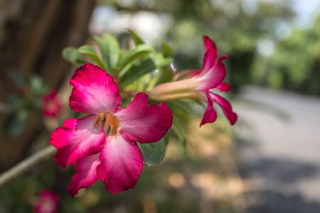 pink Impala Lily flower in sun light Stock Photo