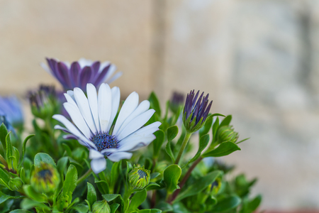 Closed up of white and purple flowers with green leaves in Matera, Italy