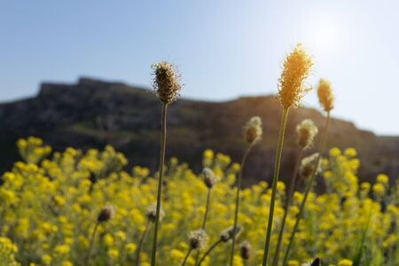 Selective focus dry yellow grass flowers on meadow in Spring  sunrise, south Italy.