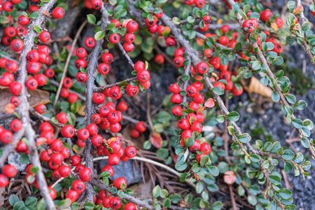 Fresh and red color of pink peppercorn plant in the garden, a dried berry of the shrub Schinus molle, commonly known as the Peruvian peppertree.