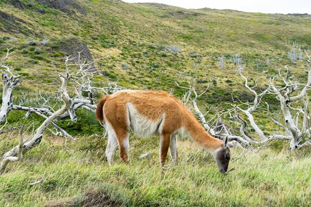 Adorable guanaco wild nature animal with green yellow grass, south Patagonia, Chile and Argentina, most iconic beautiful tourism place.
