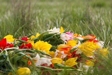 An armful of wild dwarf tulips lying on the grass. Beautiful fragile flowers of the Republic of Kalmykia. The jewel of nature. Stock Photo