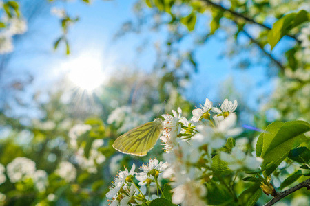 Butterfly on the flowers of an apple tree in the rays of the sun.