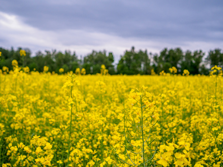 Bright yellow blooming canola on a field with contrasting trees in the background. Agricultural culture of Russia. Banco de Imagens