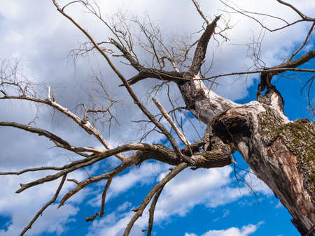 An old large dead tree stretches its branches as if it were as if with a plea to a bright blue sky through which white fluffy clouds float. Stock Photo