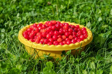 Red appetizing cherry in a yellow bowl on the grass. Summer harvest of cherries.