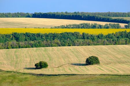 Hilly landscape of agricultural fields with two trees in the foreground on a summer sunny day. In the background is a field with blooming yellow sunflowers and a blue sky.