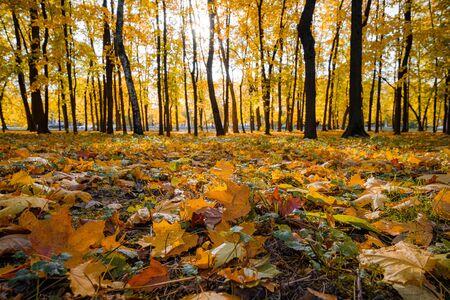 Vicolo nel parco in una soleggiata giornata autunnale. Un tappeto di foglie e alberi colorati in controluce