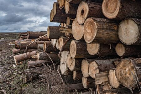 On a cloudy autumn day along the road in the mud there are many rough logs of softwood. In the background is a cloudy sky with gloomy heavy clouds. End cuts of tree trunks. Stock Photo