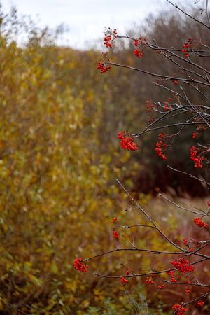 Bright red rowan berries on branches without leaves on an autumn day. Blurred background. Late fall
