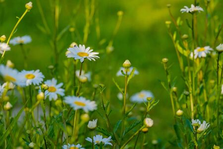 Selective focus on white daisy flowers on a green blurred background.