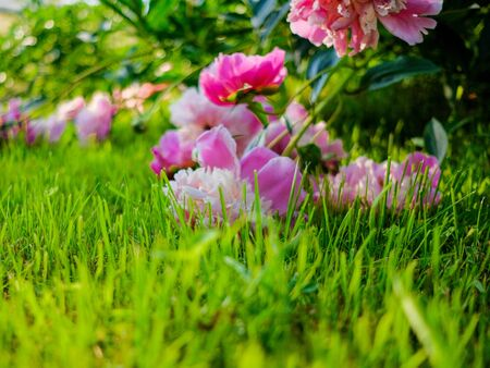 Blooming buds of pink peonies leaning on the grass of the lawn. Copy space.