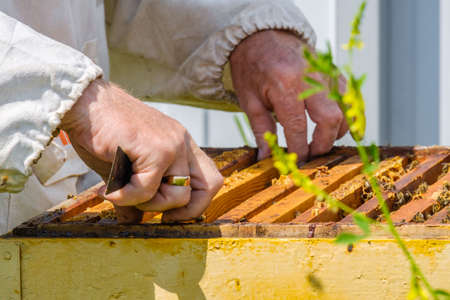 A beekeeper extracts a frame with honeycombs from the hive. Inspection of bees in the apiary. Preparing for the harvest of honey on a sunny summer day. A lot of bees are crawling on the honeycombs.
