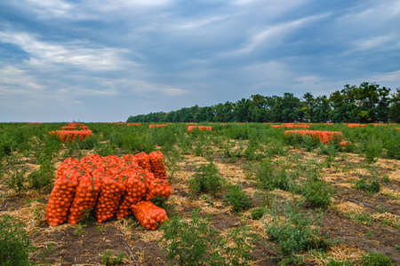 Collected onions in orange mesh bags on the field. Eco-friendly fresh vegetables are harvested for sale. Agroindustry.