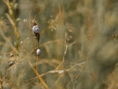 Selective focus on small spiral shells of steppe snails on dried plant stems. Beautiful natural background. Macro shot of molluscs in the wild. Strongly blurred background. Copy space.