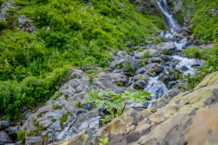 Selective focus on a lonely plant on the rocks against the backdrop of a waterfall in a mountain river in the Caucasus. Blurred background. Forest river wild landscape. Jets of cold water.