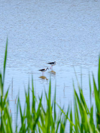 Black-winged lapwings on stilt legs search for food in shallow water on a sunny day against the backdrop of green grass. Bird life in the wild.