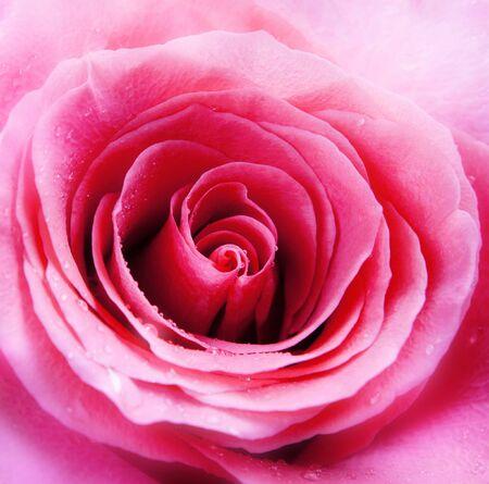 tender tenderness: closeup of pink rose