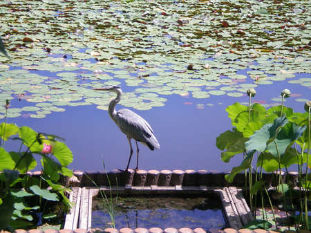 waterlillies: A grey heron standing on the edge of a pond