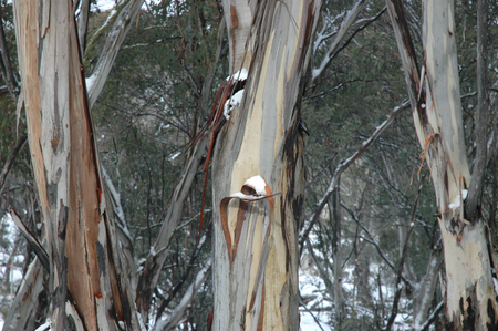 A close up of the trunks of Australian gum trees in the snow. The stems are a variety of clours and the bark is peeling. Stock Photo