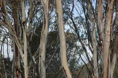 A closeup of the trunks of the eucalyptus tree known as Sydney Blue Gum in a forest. The bark is peeling, showing different colours of the trunks.