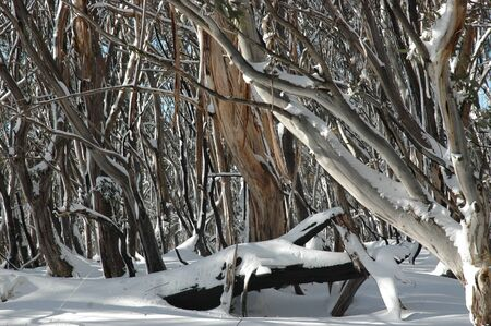 A close-up of tree trunks covered in snow. The bark is peeling from some of the trunks, and the trunks are different colours. Stock Photo