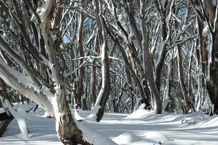 A snow covered forest of Australian gum trees. The trunks have different colours on the bark. There are no footprints in the snow.