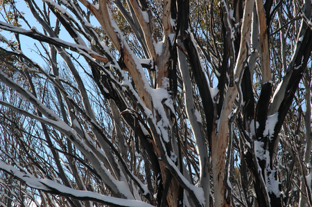 A close up of snow covered trees in the Australian bush. The branches are tangled. The sun is shining and the sky is blue.