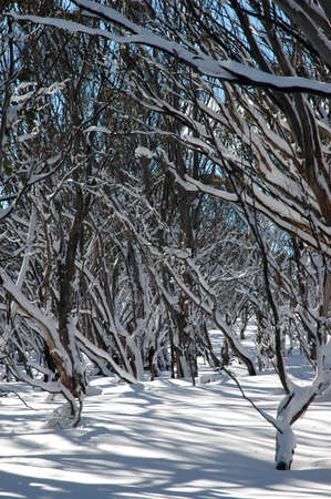 A forest of bare trees covered in snow. They cast crisp shadows on the white snow. There is a blue sky in the background. Stock Photo