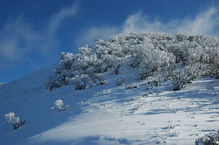 Stunted trees covered with snow. There are no marks on the snow. The hillside has deep blue shadows. The sky is blue with faint clouds.