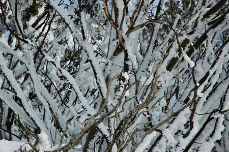 A close-up of snow-covered trees. A blue sky is just visible through the branches.